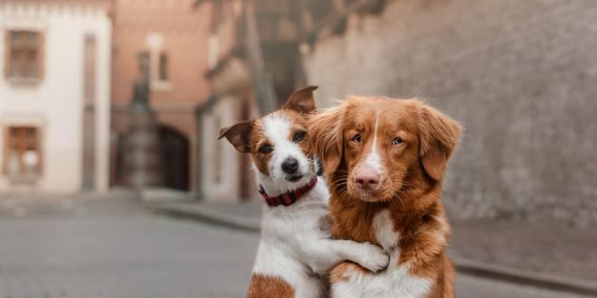 Happy dogs: a Jack Russell hugging a retriever